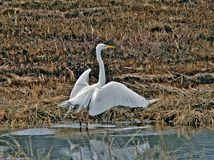 Great White Egret (Egretta alba). The great white egret stands in water with open wings Stock Photos