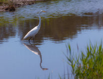 Great white egret, egretta alba, fishing in a swamp Royalty Free Stock Photography