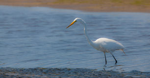 Great white egret, egretta alba, fishing in a swamp Royalty Free Stock Images