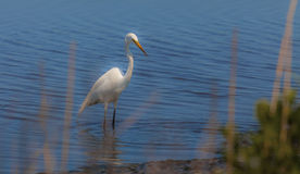 Great white egret, egretta alba, fishing in a swamp Stock Images
