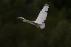 Great white egret (egretta alba) in flight Stock Photography