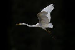 Great white egret (egretta alba) in flight Stock Images