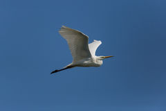 Great white egret Egretta alba during flight Stock Photo