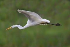 Great white egret egretta alba in flight Royalty Free Stock Photography