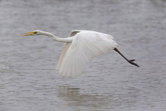Great white egret egretta alba flying over water surface Stock Images