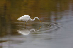 Great white egret egretta alba during hunting with reflection Royalty Free Stock Photo