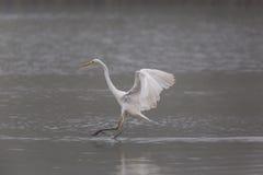 Great white egret egretta alba during landing Stock Image