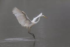 Great white egret egretta alba during landing Stock Photo