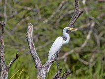Free Great White Egret, Egretta Alba, On Rio Dulce, Guatemala Stock Photography - 142436742