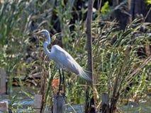 Free Great White Egret, Egretta Alba, On Rio Dulce, Guatemala Royalty Free Stock Images - 142438019
