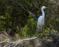 Great white egret, egretta alba, perching on tree Stock Photo