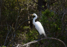 Great white egret, egretta alba, perching on tree Royalty Free Stock Photography