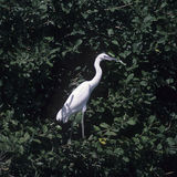 Great White Egret (Egretta alba) Stock Images