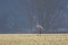 Great white egret, Egretta Alba Stock Photos