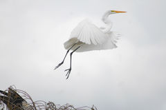 Great White Egret in Everglades National Park. Great white egrets are common in Everglades National Park royalty free stock photos