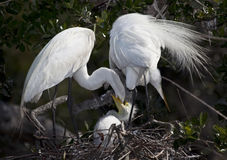 Great White Egret Family Feeding Time Royalty Free Stock Image