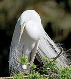 Great white egret with feathers blowing Stock Images