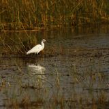 Great White Egret feeing in shallow water stock photo
