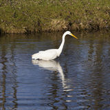 Great white egret fishes in dutch canal in warm sunlight Royalty Free Stock Image
