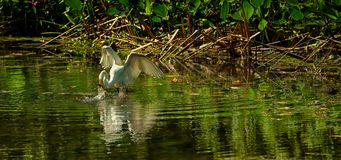 Great White Egret fishing Royalty Free Stock Photography