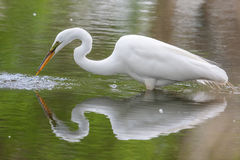 Free Great White Egret Fishing Stock Photo - 41892930