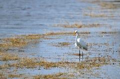 Great white egret fishing Stock Image