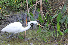 A Great White Egret Fishing Royalty Free Stock Images