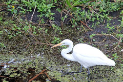 A Great White Egret Fishing Stock Image