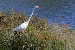 A Great White Egret Fishing Royalty Free Stock Image