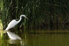 Great White Egret Fishing in an Arizona Lake royalty free stock photography