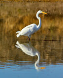 Great White Egret Fishing in an Arizona Pond Royalty Free Stock Photography