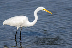 Great White Egret Fishing in Blue Water Wading Royalty Free Stock Photography