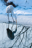 Great White Egret Fishing Near Ice Stock Photo