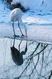 Great White Egret fishing near Ice Stock Photo