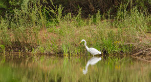Great White Egret fishing at river stock images