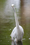 Great White Egret fishing Royalty Free Stock Images