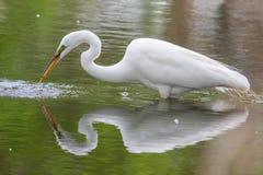 Great White Egret fishing Stock Photo