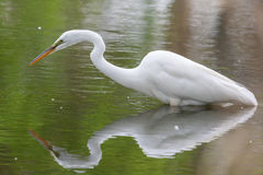 Great White Egret fishing Stock Photo