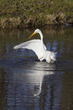 Great white egret flaps wing in dutch canal in warm sunlight Stock Image