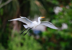 Great white egret flies over Venice Rookery Stock Photos