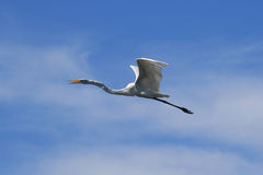 Great White Egret in Flight royalty free stock images