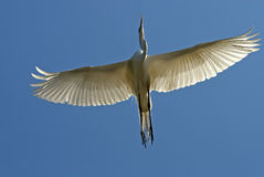 Great White Egret in flight Royalty Free Stock Photo
