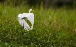 Great White Egret in flight Stock Images