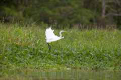 Great White Egret in flight Stock Photos