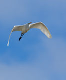 Great White Egret in flight Royalty Free Stock Image