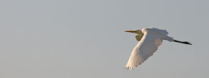 Great White Egret in flight Stock Photography