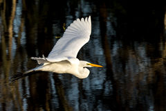 Great White Egret in flight. Beautiful Great White Egret in Brazos Bend State Park in Texas Royalty Free Stock Image