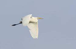 Great white egret in flight Stock Image