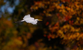 Great White Egret In Flight With Fall Colors Royalty Free Stock Image