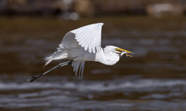 Great White Egret Flight With Fish Royalty Free Stock Image